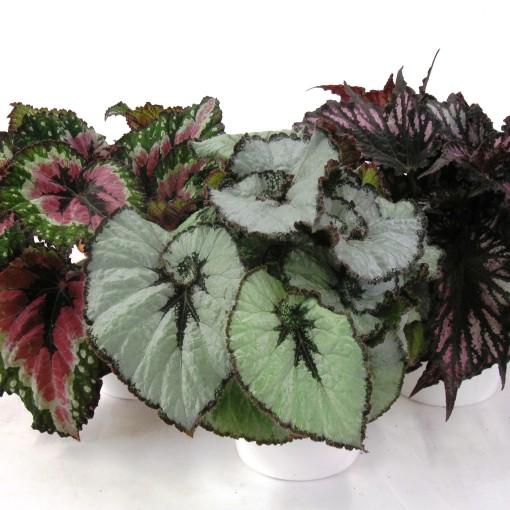 Begonia REX MIX (Gasa DK)
