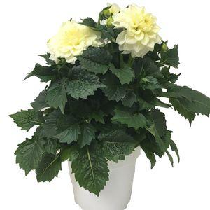 Dahlia DAHLINOVA HYPNOTICA WHITE (JK Plant)