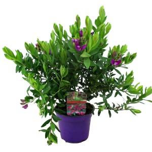 Polygala myrtifolia (Luiten kwekerij)