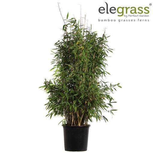 Fargesia murielae 'Winter Black' (Hoogeveen Plants)