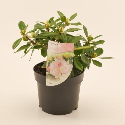 Rhododendron 'Dreamland' (Dool Botanic)