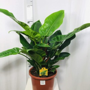 Philodendron 'Imperial Green'