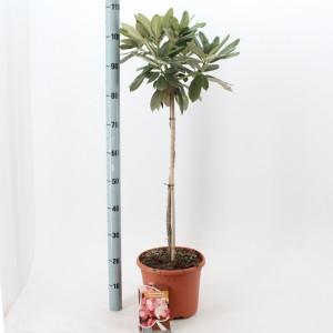 Rhododendron 'Zauberflöte'