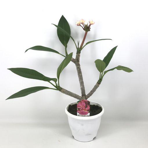 Plumeria rubra 'Hawaiian Opal Pink' (Amstelzicht BV)