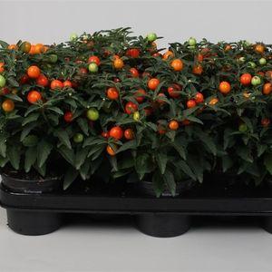 Solanum pseudocapsicum (Kap-Tiegelaar)