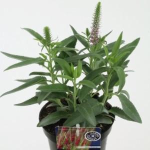 Veronica spicata 'Rotfuchs' (Kwekerij de Noordpoel)