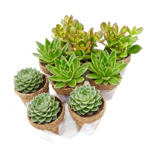 Succulents MIX (Kokoplant)