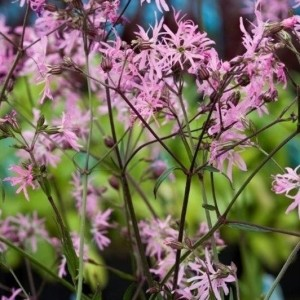 Lychnis flos-cuculi (Moerings Waterplanten)