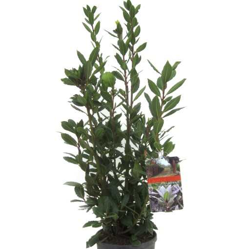 Laurus nobilis (Luiten kwekerij)