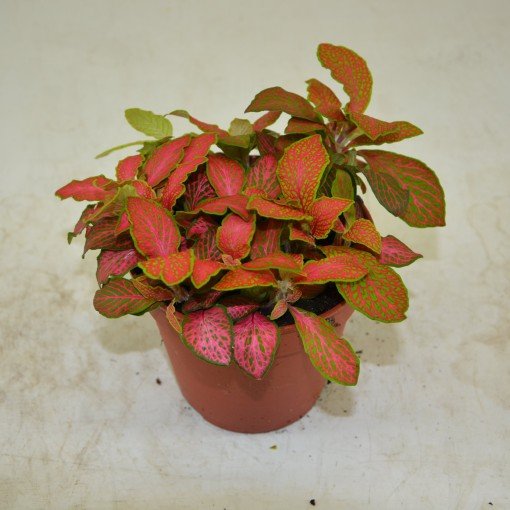 Fittonia verschaffeltii 'Ruby Lime' (Schoenmakers Tropische Potcultures)