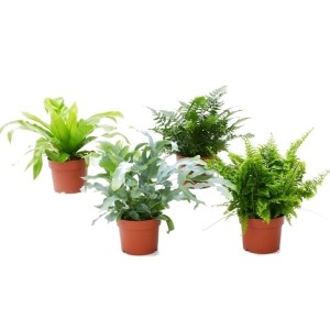 Ferns MIX (Bunnik Plants)