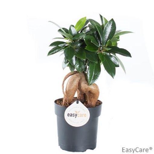 Ficus microcarpa (Gasa DK)