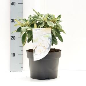 Rhododendron 'Golden Torch' (Dool Botanic)