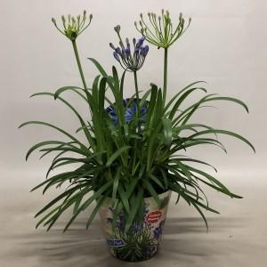 Agapanthus SUMMER LOVE BLUE (Nolina Kwekerijen B.V.)