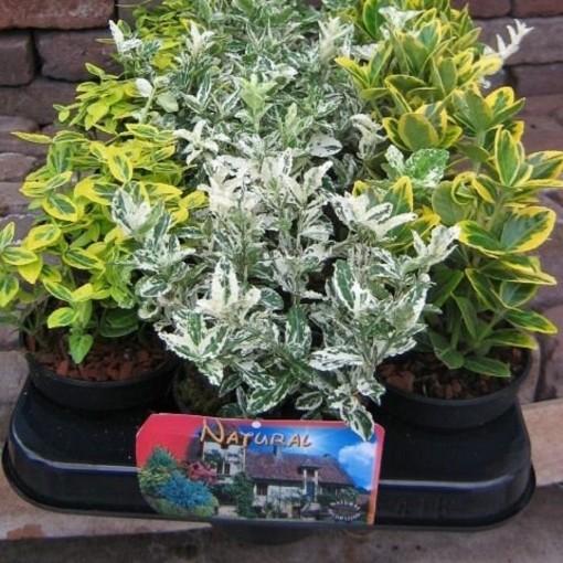 Euonymus japonicus MIX (Van den Dool Plant BV)