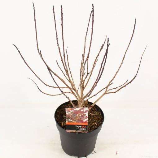 Cotinus coggygria 'Lilla' (Snepvangers Tuinplanten BV)