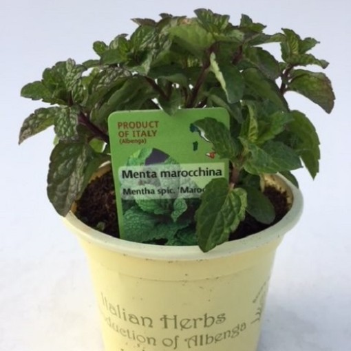 Mentha spicata 'Moroccan' (Green Collect Sales)