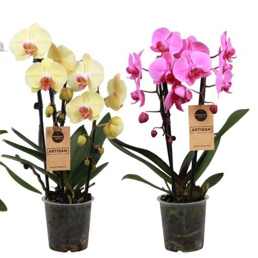 Phalaenopsis ELEGANT CASCADE (Artisan BV)