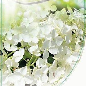 Hydrangea arborescens 'Annabelle' (Dool Botanic)
