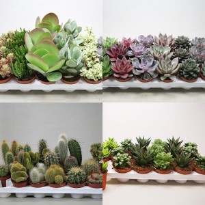 FA Cacti-Succulents SELECTION #185