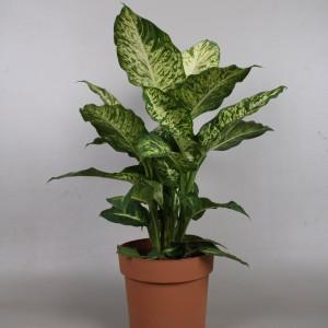 Dieffenbachia 'Mars' (Vireõ Plant Sales)