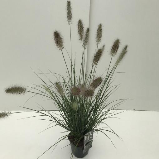 Pennisetum alopecuroides 'Hameln' (Cammeraat Potcultuur)