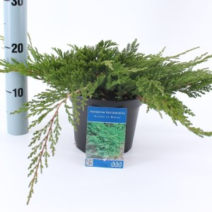 Juniperus horizontalis 'Prince of Wales' (About Plants Zundert BV)