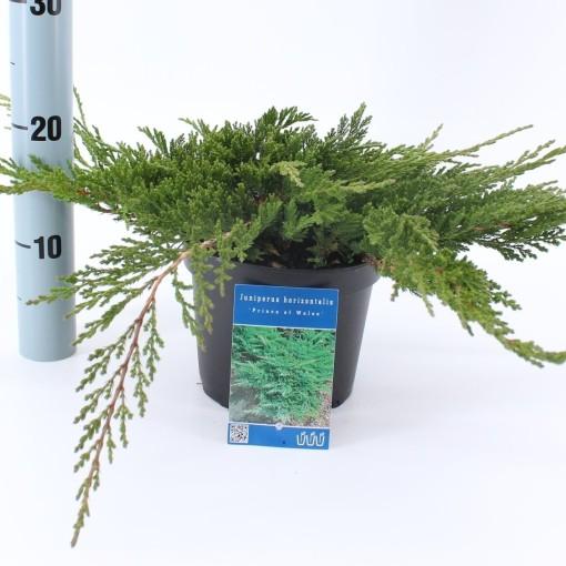 Juniperus horizontalis 'Prince of Wales' (About Plants Zundert BV)