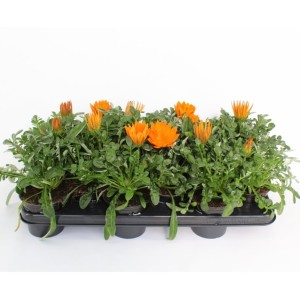 Gazania rigens NEW DAY CLEAR ORANGE (Sonneveld Plants)