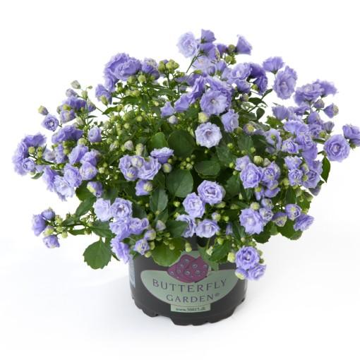 Campanula x haylodgensis BLUE BALI (Gasa DK)