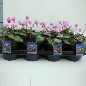 Cyclamen hederifolium 'Silverme Pink' (About Plants Zundert BV)