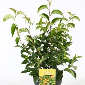 Prunus lusitanica azorica TICO (Boomkwekerij Ronald Roos B.V.)
