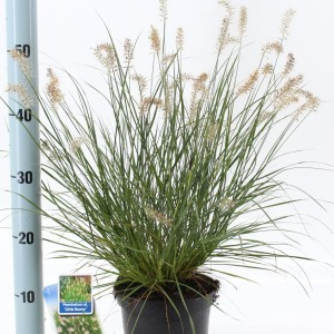 Pennisetum alopecuroides 'Little Bunny' (About Plants Zundert BV)