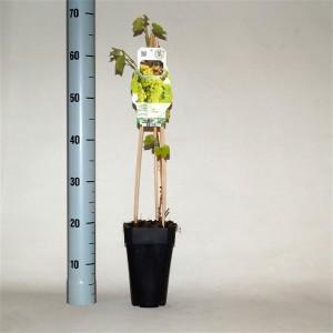 Vitis 'Supaga' (BOGREEN Outdoor Plants)