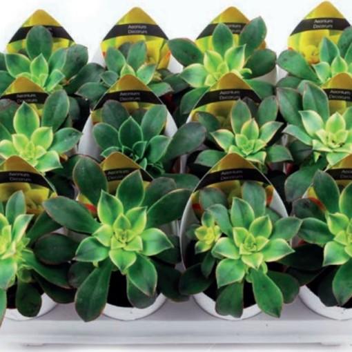 Aeonium decorum 'Tricolor' (Giromagi)