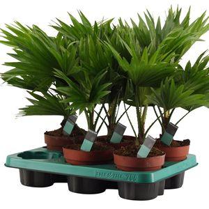 Livistona rotundifolia (Kwekerij Duijn-Hove B.V.)