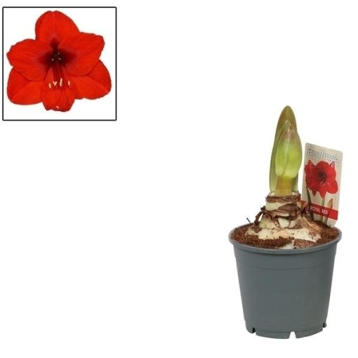 Hippeastrum 'Royal Red' (Vreugdenhil Bulbs & Plants)