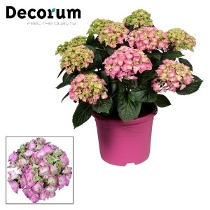 Hydrangea macrophylla EARLY PINK