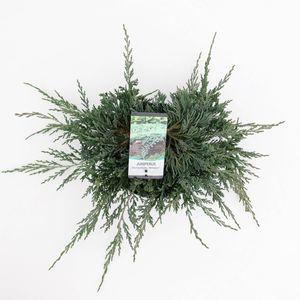 Juniperus horizontalis 'Wiltonii' (Bremmer Boomkwekerijen)