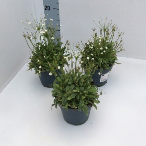 Androsace septentrionalis 'Stardust' (Experts in Green)