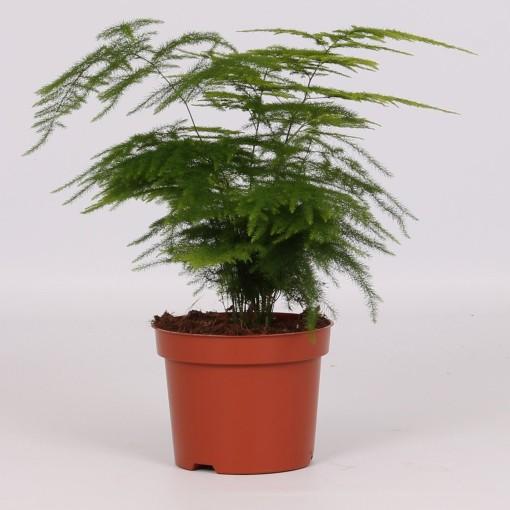 Asparagus setaceus (Groot BV, Kwekerij J. de )