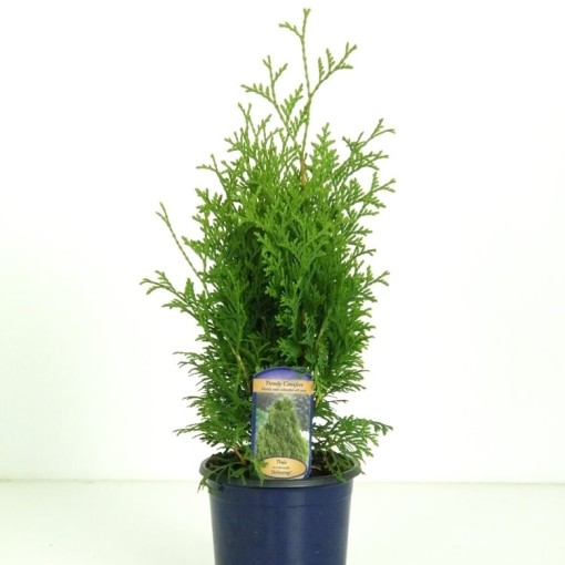 Thuja occidentalis 'Holmstrup' (Vredebest, Kwekerij )
