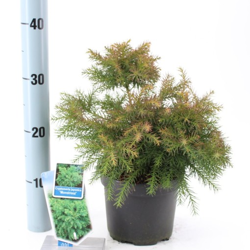 Cryptomeria japonica 'Monstrosa Nana' (About Plants Zundert BV)