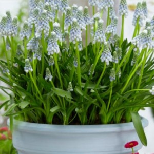 Muscari 'Peppermint'