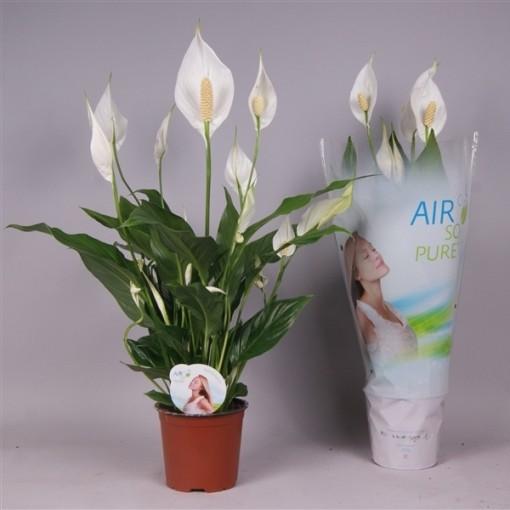 Spathiphyllum 'Sweet Silvio' (Westland Plant)
