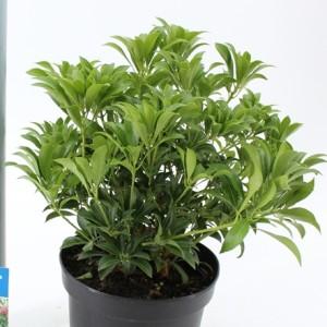 Pieris japonica 'Passion' (About Plants Zundert BV)