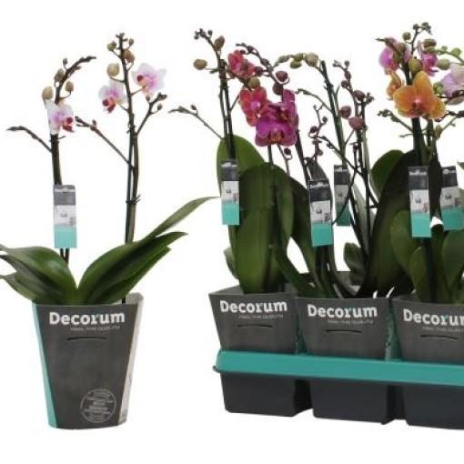 Phalaenopsis MIX (Ter Laak Orchids Midiflora)