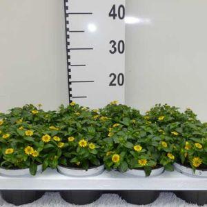 Sanvitalia procumbens SUNVY SUPER GOLD (Experts in Green)