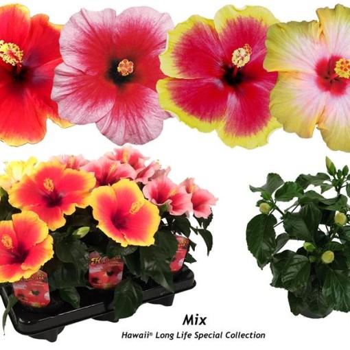Hibiscus rosa-sinensis MIX (Gasa DK)