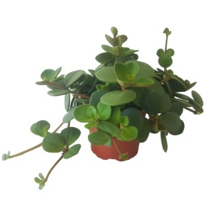Peperomia pecuniifolia CHOCOLATE BUTTON